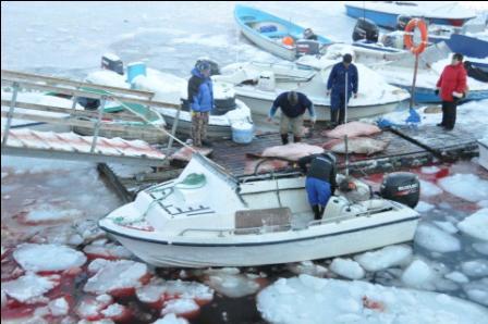 Igen er der fanget sæler i Maniitsoq.