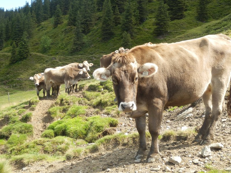 Græssende køer i alperne
