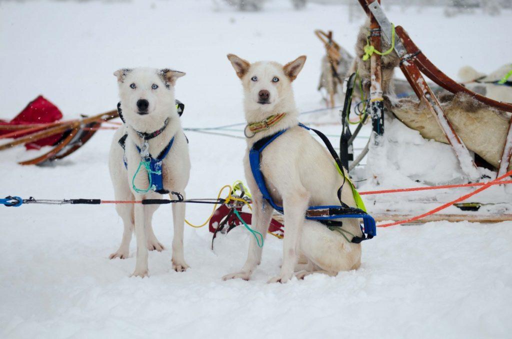 Slædehunde i Tromsø