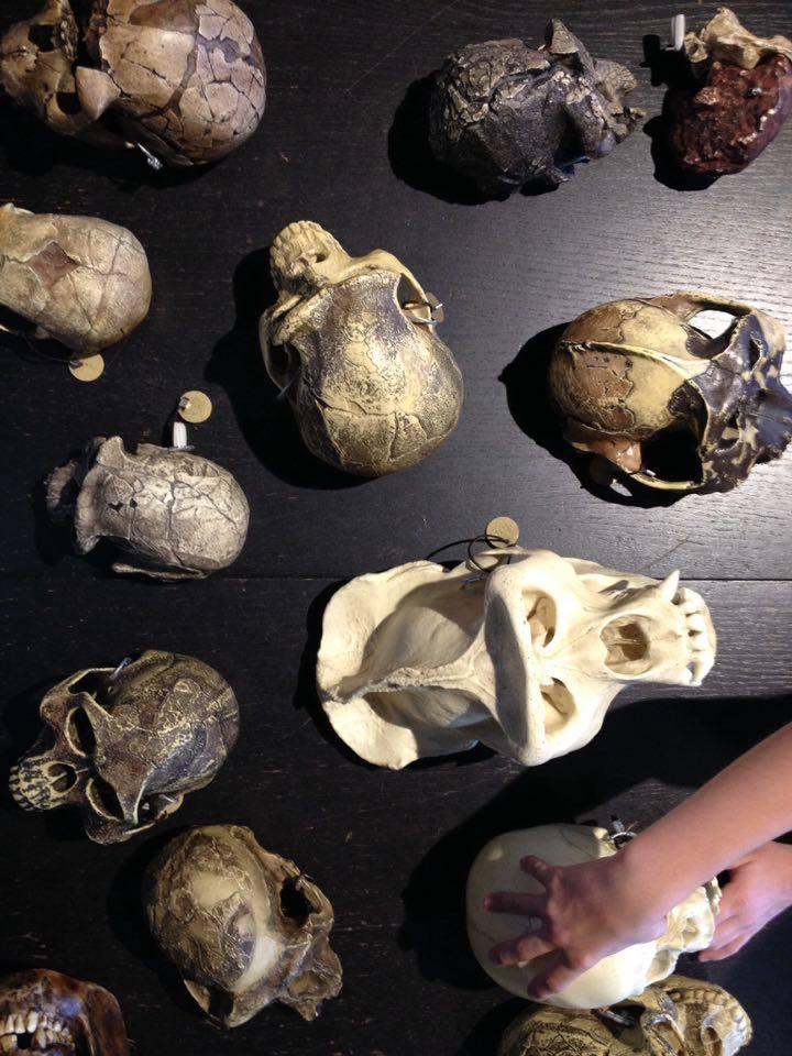 Foto af kranier på Naturhistorisk Museum, et af de museer for børn som er sjove