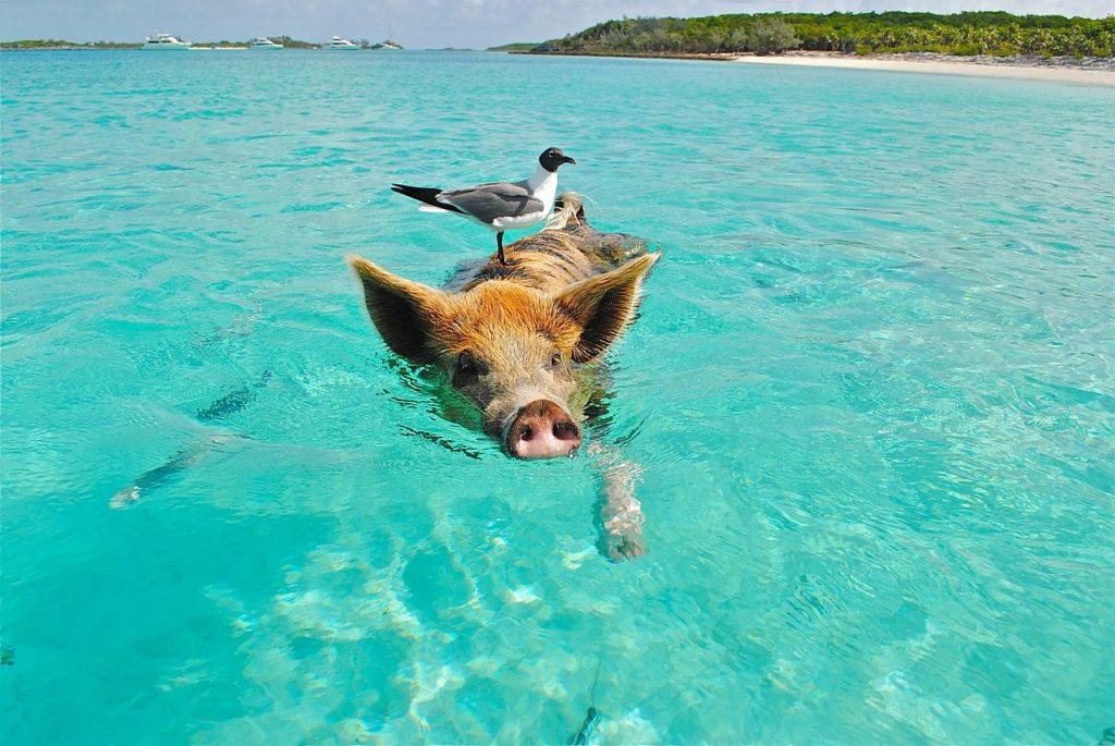 Gris svømmer ud for Bahamas. Foto: Lisa Larsen