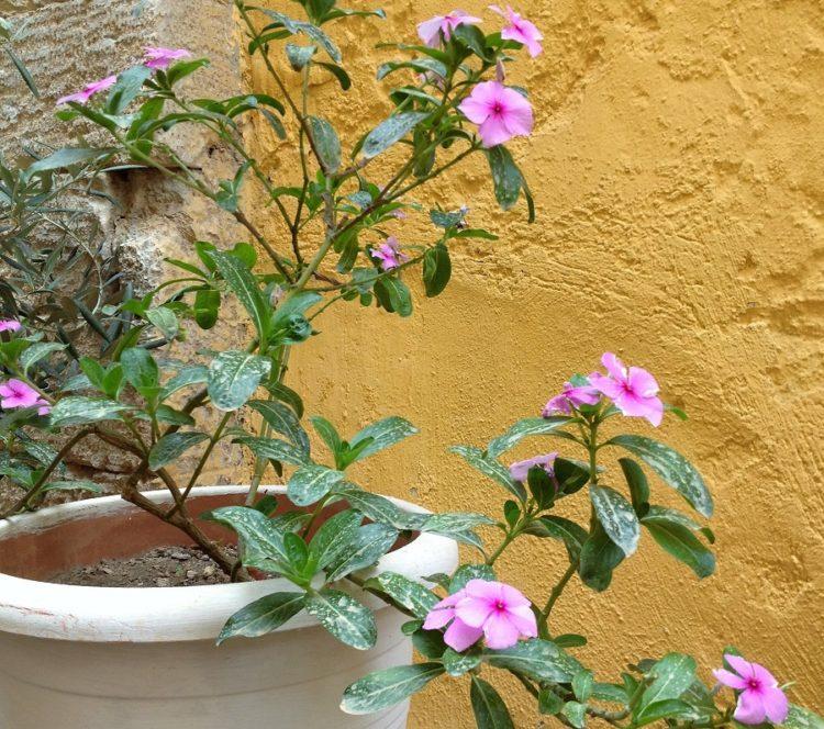 Blomst i krukke på Kreta