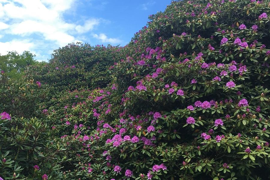 Der er fuld knald på farverne i Dragsholm Slots rododendronhave.