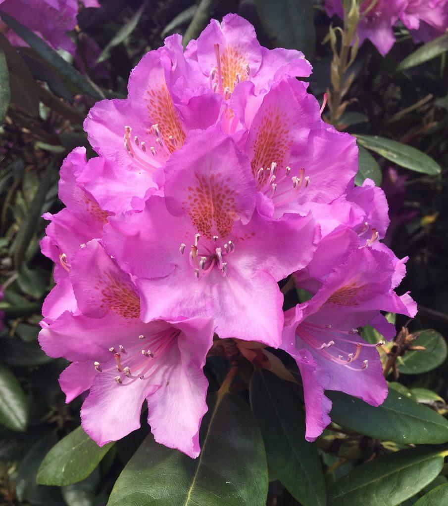 Rododendronblomst, foto: Karen Seneca