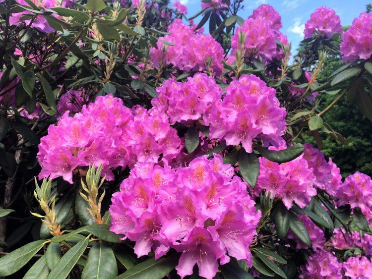 Dragsholm Slots Rododendronbuske