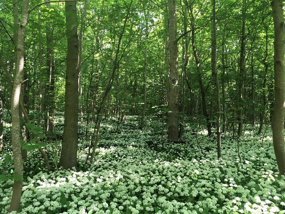 Ramsløgene blomstrer, det kan både ses og duftes.