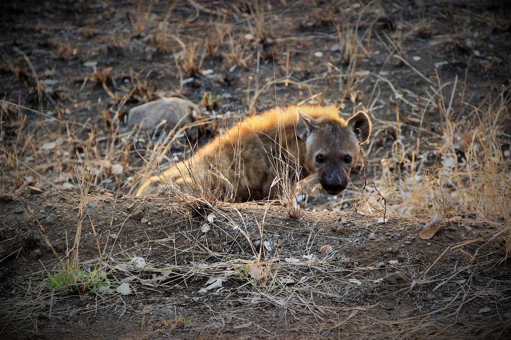 Hyæne set på safari i Sydafrika