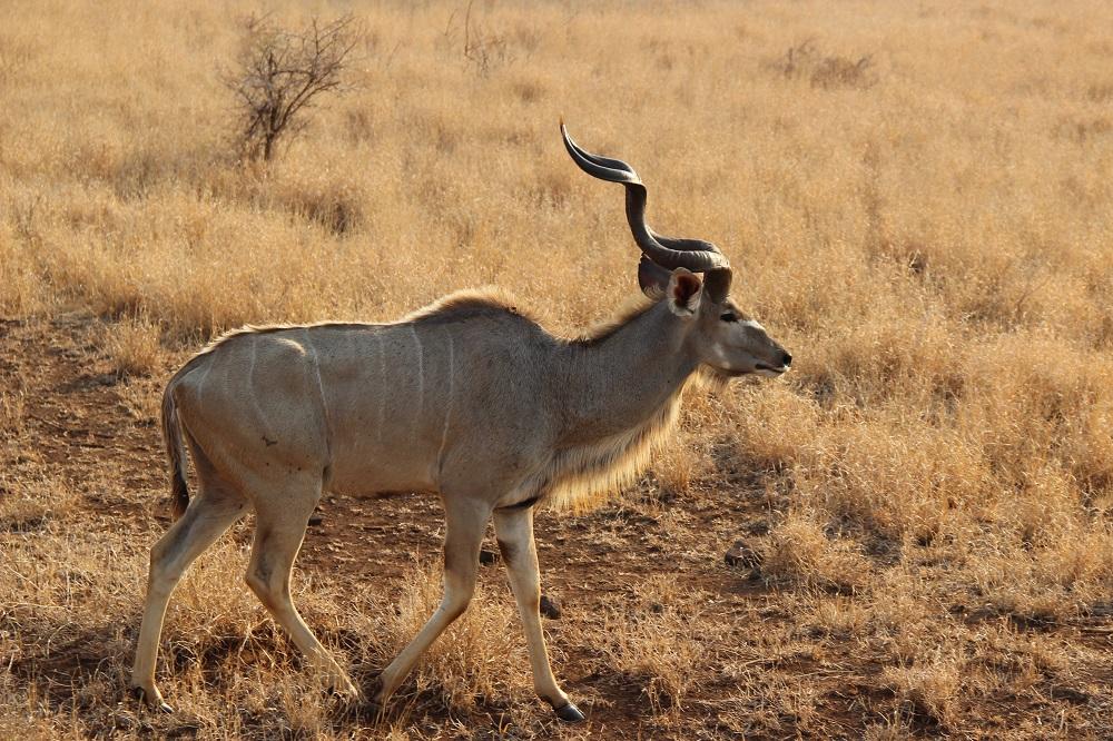 Impala i Kruger National Park.