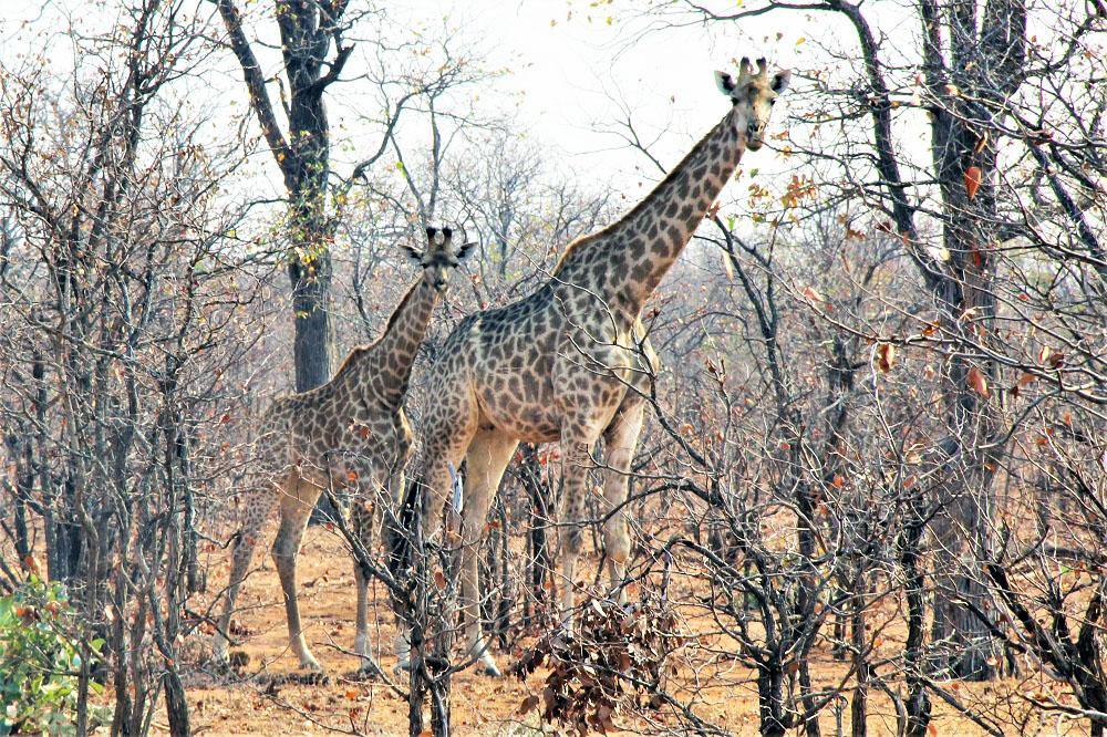 Giraffer set på safari i Sydafrika