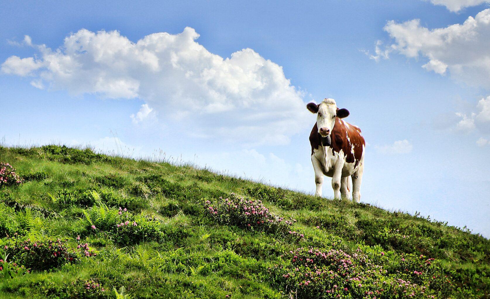 Køerne på græs